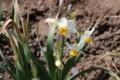 咲き始めた「日本スイセン」。(28.3.24)