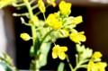 「赤カブ」の黄色の花。(28.3.29)