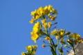 青空に、黄色の「菜の花」。(28.3.31)