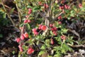 鮮紅色の「ボケ(木瓜)」の花。(28.4.8)