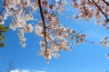 青空に映える、「ソメイヨシノ(染井吉野)」(ひろば)(28.4.11)