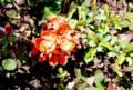 賢治ガーデンに移植、「クサボケ(草木瓜)」(28.4.11)