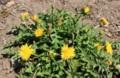 真っ盛りの「在来種・日本タンポポ」(28.4.12)