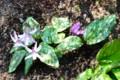 木漏れ日が、カタクリの葉に斑模様が…。(28.4.12)