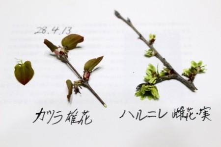 「カツラ(桂)」、「ハルニレ(春楡)」の花。(駒場公園)(28.4.13)