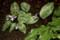 雨に濡れる「カタクリ(片栗)」の花・葉.。(28.4.13)