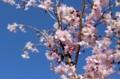 青空に映える、見頃の「ジュウガツザクラ(十月桜)」(28.4.15)
