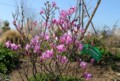 賢治ガーデンに植え付けた「トウゴクミツバツツジ(東国三つ葉躑躅)