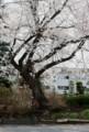 城跡・土塁に立つ、「江戸彼岸桜」の大木。