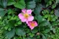 「グランドカバー・イチゴ(苺)」の花。(28.4.17)