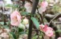 見ごろの「ボケ(木瓜)」の花。(28.4.18)