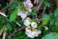 見頃の「ボケ(木瓜)」の花。(28.4.18)