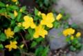 咲き始めた「ヤマブキ(山吹)」の花。(28.4.18)
