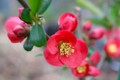 我が家の「赤色のボケ(木瓜)」の花。(28.4.18)