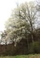 用水わきの山に、「コブシ(辛夷)」の大木が…。(28.4.18)