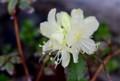 淡いクリーム色の「ヒカゲツツジ(日陰躑躅)」の花。(28.4.19)