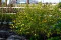 夕日を受けて輝く「ヤマブキ(山吹)」の花。(28.4.20)