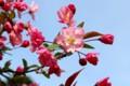 青空に映える、咲き始めた「ハナカイドウ(花海棠)」の花。(28.4.21)