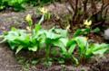 遅れて咲き始めた「キバナカタクリ(黄花片栗)」の花。(28.4.21)
