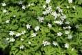 「ニリンソウ(二輪草)」の開花。(28.4.22)