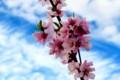 青空に映える「モモ(桃)」の花。(28.4.22)