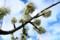 「プルーン」の花は、白色。(28.4.22)
