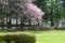 緑の芝生に映える、「オオヤマザクラ(大山桜)」の花。(28.4.24)