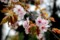 「オオヤマザクラ(大山桜)」の花。(28.4.24)