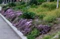 咲き始めた「イブキジャコウソウ(伊吹麝香草)」。(28.4.24)