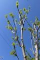 青空に映える、「コシアブラ(漉油)」の若葉。(28.4.26)