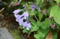 「ラショウモンカヅラ(羅生門葛)」の花。(28.4.27)