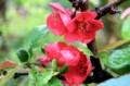 雨に濡れる、「ボケ(木瓜)」の花。(28.4.28)