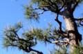 赤松の木と、「弥生二十四日」に月・「下弦の月」。(28.4.30)(7:23)