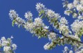 青空に映える、「ザイフリボク(采振木)」・シデザクラ(四手桜)」