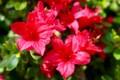「日の出躑躅」も咲いて…。(28.5.3)