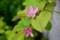 珍しい花色の「カリン(花梨)」。(28.5.4)