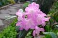 辺りを明るく、ピンクの「本シャクナゲ」の花。(28.5.6)