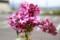 今が見頃の「ライラック」の花。(28.5.6)