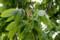 トチ(栃・橡)の木に、初めての花穂が…。(28.5.6)