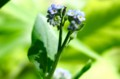 「ノハラムラサキ」の花、さそりの尾状の花序。(28.5.12)