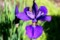 「カマヤマショウブ(釜山菖蒲)」の花。(28.5.13)