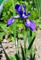 「アヤメ(文目)」の花。(28.5.13)