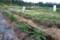 生長中の「ジャガイモ」畑。(28.5.13)