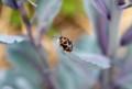 紫キャベツの葉に、「ナガメ」カメムシ。(28.5.14)