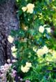 垂れ下がって咲く「モッコウバラ」(28.5.19)