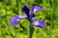 「アヤメ(文目)」の花。(28.5.20)