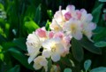 赤色がクリーム色に変化する「パーシーワイズマン」石楠花。(28.5.22)