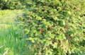 夕陽に懐かしい「田植え茱萸」。(28.5.22)