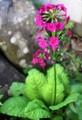 雰囲気のある「クリンソウ(九輪草)」の花。(28.5.24)