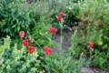 賢治ガーデン、バラ科のエリアの様子。(28.5.24)